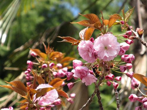 2012.4.18「熊谷西小学校の八重桜・関山」