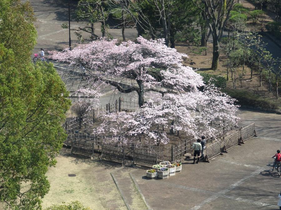 千代鶴姫、順調に満開に向かっています(中央公園)
