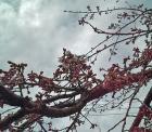 2012.3.30緑化センター前の枝垂れ桜