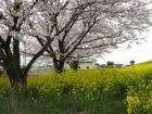 2012.4.13「大里・切所沼」の菜の花と桜