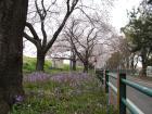 #23「この時期道端でよく見かける紫の花は」