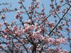 2008.3.18彼岸桜