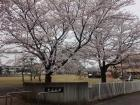 原谷公園(江南行政センター近く)2017.4.6
