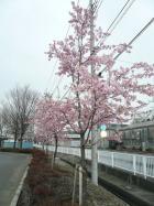 熊谷さくら運動公園の「河津桜」