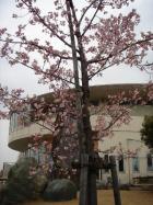 道の駅めぬま・めぬまアグリパークの河津桜