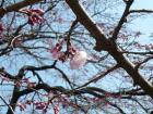 2009.3.19千代鶴姫(中央公園)