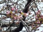 2009.3.24中央公園ソメイヨシノ