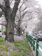 2009.4.4紫花菜と桜