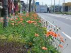 #13「道端のオレンジ色の小さな花の正体」