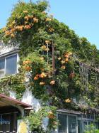 #16「2階の屋根まで伸びているオレンジの花」